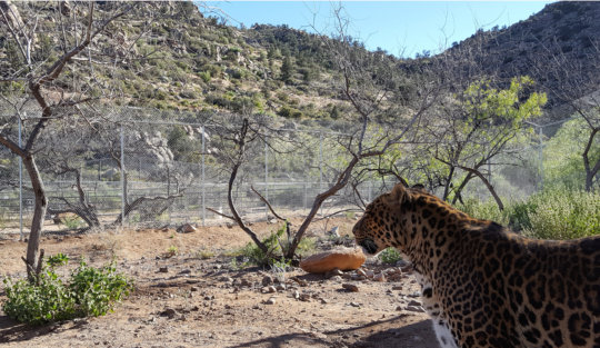 Bug (leopard) in New Habitat