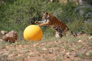 Skylar Playing With Enrichment Ball