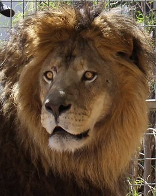 Help Rescued Big Cats in Arizona