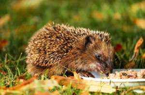 Don't give hedgehogs milk! They love meaty catfood