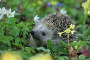 Hedgehog in your garden???
