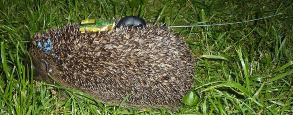 Help Save the Royal Hedgehogs!