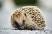 Help Save the Royal Hedgehogs!
