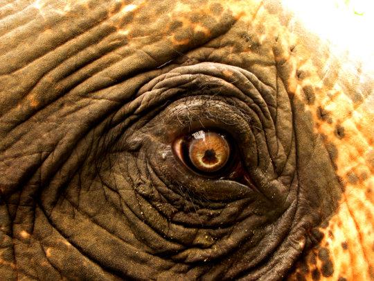 Healthy elephant eye