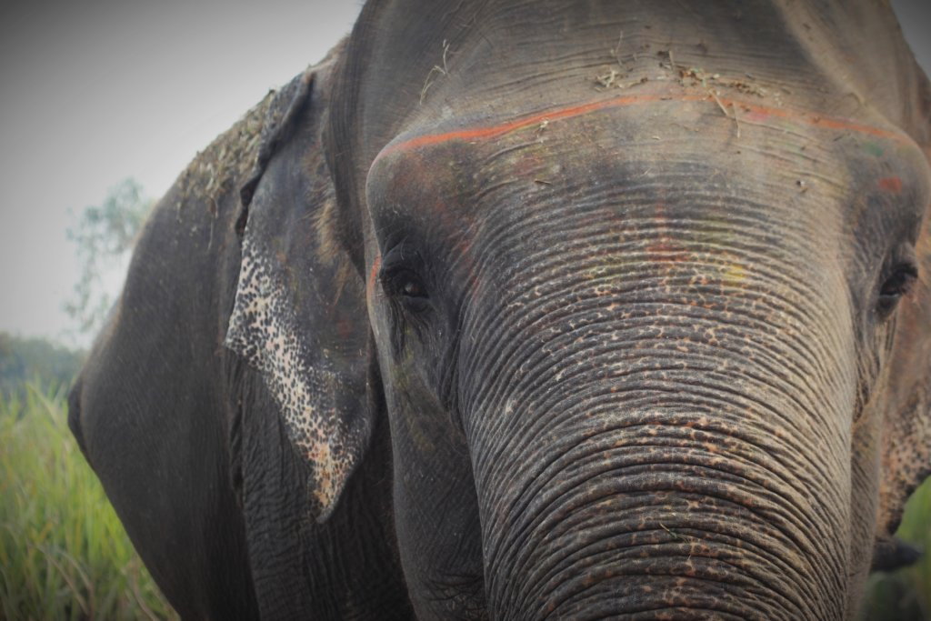 Help Indian Elephants Like Chanchal See Again