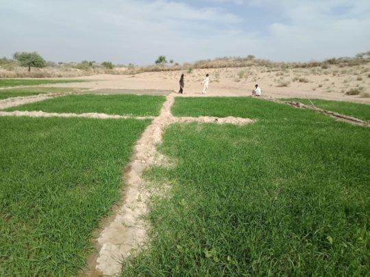 Lush Green Field in Thar.