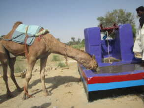 Camel drinking water from a new water well.