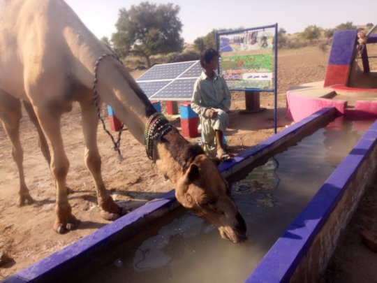 Camel drinking Water from Water Well