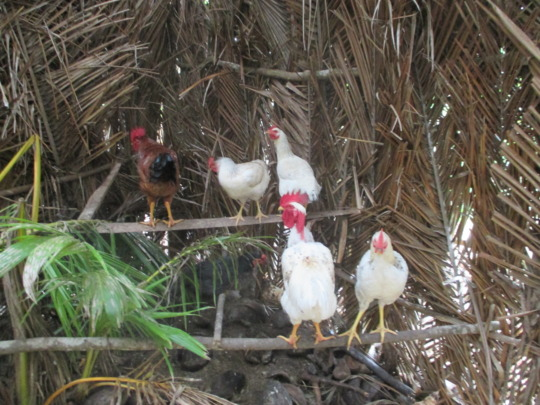 Chickens in their palace!