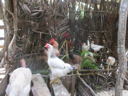 Beautiful happy chickens