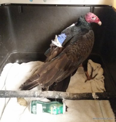 Vulture after wing pin