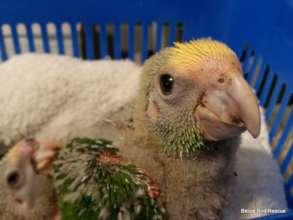 Yellow-headed chick