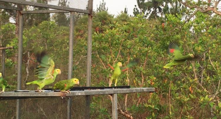 Yellow-heads released (Credit Dr Sophie)