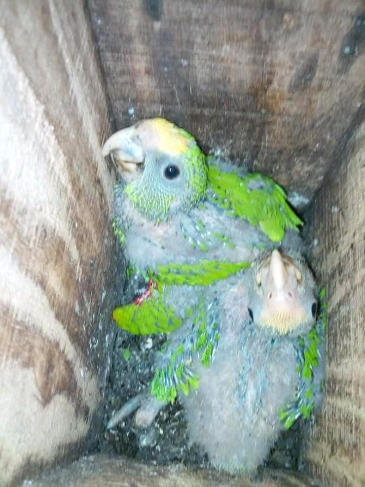 Chicks in natural nest (Photo TIDE)