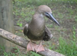 Red Foot Booby juvenile