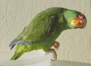 Connie, female white front parrot
