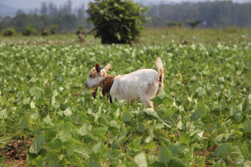 Livestock Economic Empowerment in Eastern Congo