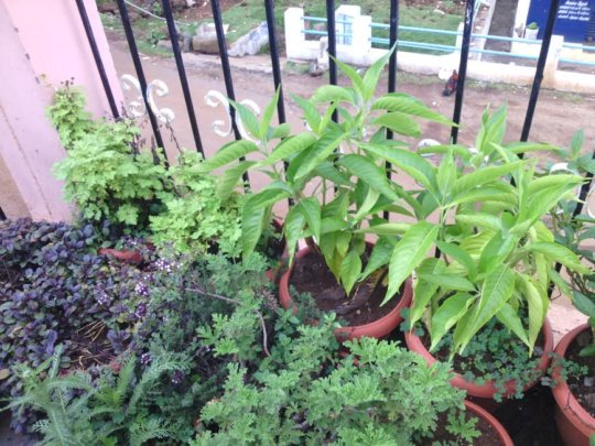 THE TALL PLANT IS AADUTHODA IN A TERRACE GARDEN