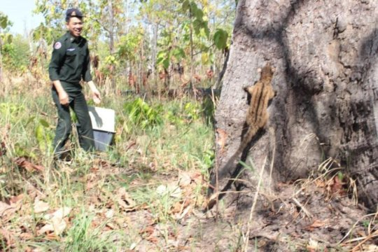Freedom! Rescued civet released in protected site.