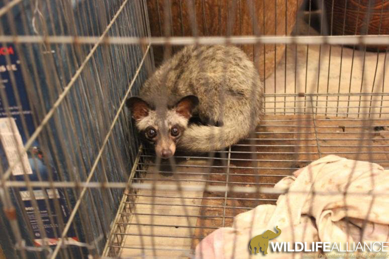 Help Save Civets from the Cruel Coffee Trade