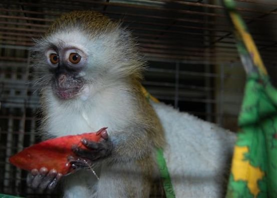 Building A New Home for Rescued Monkeys in Israel