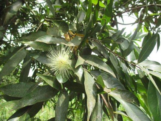 Star apple flower