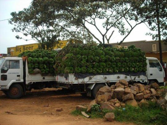 trucks loaded with matooke bananas