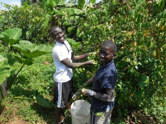 Day volunteers Haruna and Junior picking starfruit