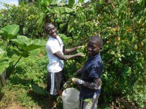 Day volunteers Haruna and Junior picking starfruit