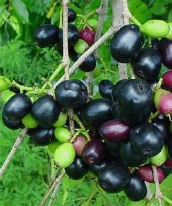 Jambula fruit growing on the tree