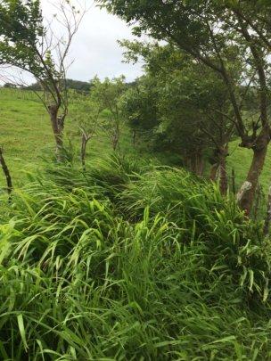 Exotic grasses 1