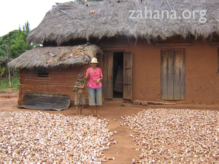 Cassava, and alternative food crop