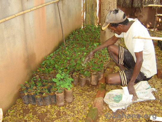 The nursery's gardner with coffee plants
