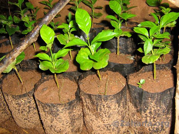 Coffee seedlings grown in Fiarenana