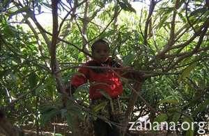 Boy in a fruit tree in Fiarenana