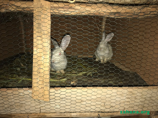 Rabbits - the new microcredit breeding project