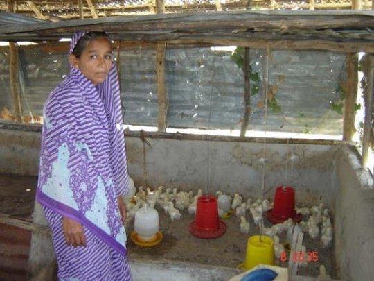 Chicken farms.