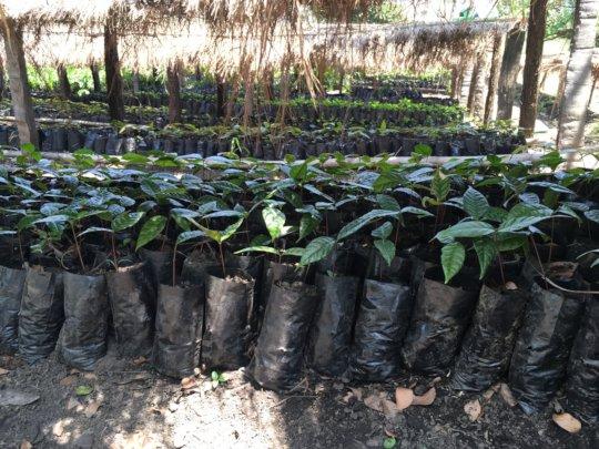 Beyo tree seedlings in the nursery