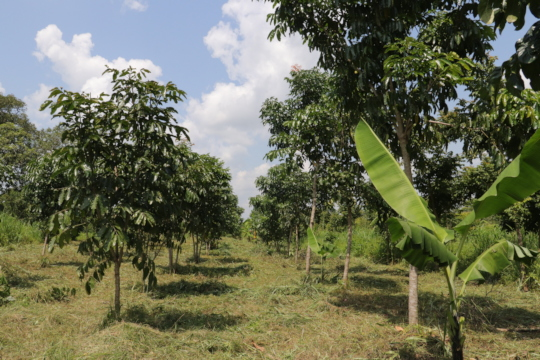 Agroforestry in Action - African Mahogany