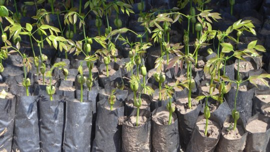 Seedlings of Afzelia Africana, a local tree