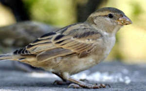 Sparrow conservation
