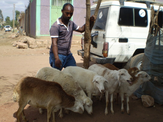 Sheep and goat, a good market for IGA