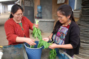 Mamas Washing Chard for Smoothies