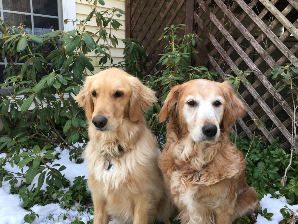 Rescue Goldens from Turkey