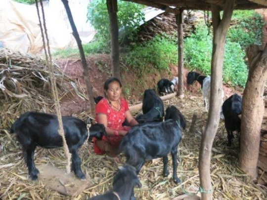 Goat raising using a loan from the trust fund