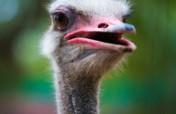 Sponsor Mr. and Mrs. Strauss, DAKTARI's Ostriches!