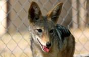 Sponsor Minnie and JP,  our new Jackals!