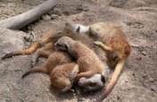 Sponsor our Meerkats!