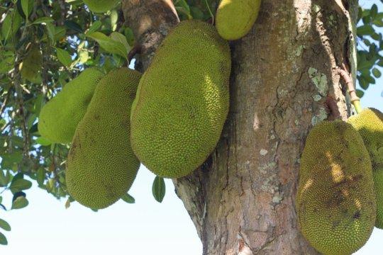 Provide 100 Households in Uganda with Fruit trees