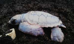 albino green turtle hatchling